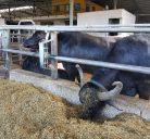 Visit Tenuta Vannulo, buffalo mozzarella farm in Paestum Vannulo Caseificio, Capaccio Italy, for mozzarella di bufala vannulo