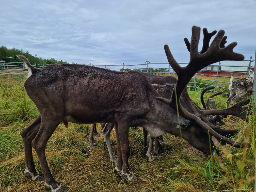 Reindeer - Swedish Lapland adventure holiday